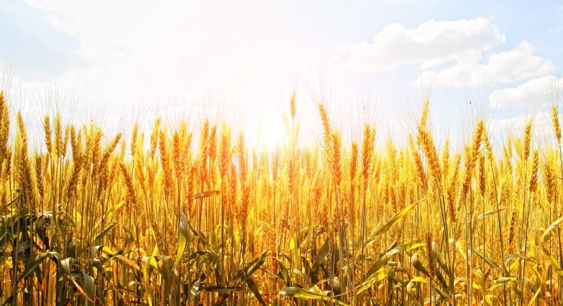 Campo del trigo en una salida del sol del fondo fotos de archivo libres de regalías