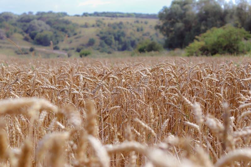 Campo del trigo madurado de oro listo para cosechar en el verano imágenes de archivo libres de regalías