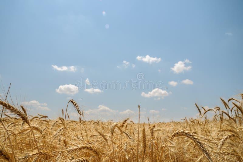 Campo del trigo maduro imagen de archivo