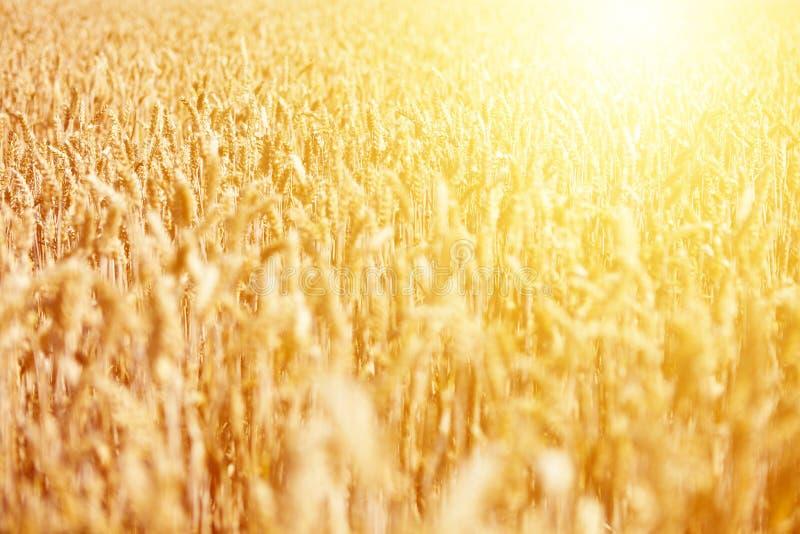 Campo del trigo maduro contra salida del sol de oro imágenes de archivo libres de regalías