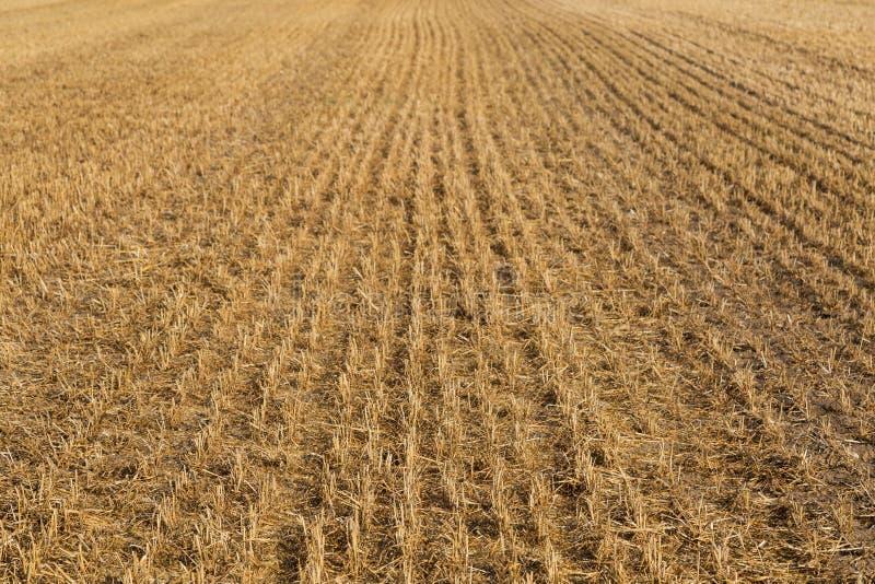 Campo del trigo segado foto de archivo