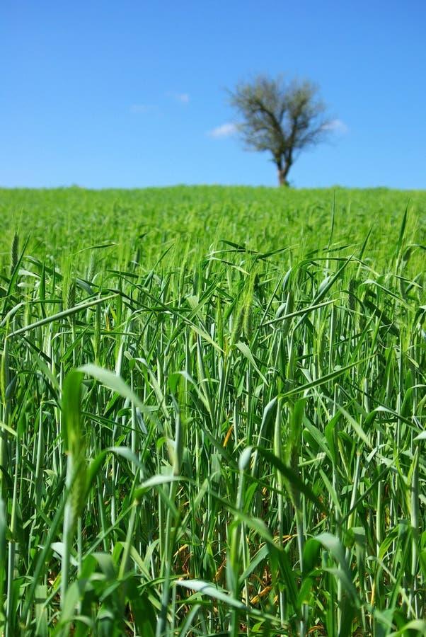 Campo del trigo verde con el árbol. imagenes de archivo