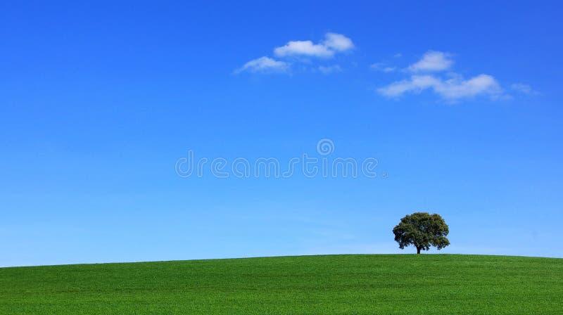 Campo del trigo verde con el árbol. fotos de archivo libres de regalías