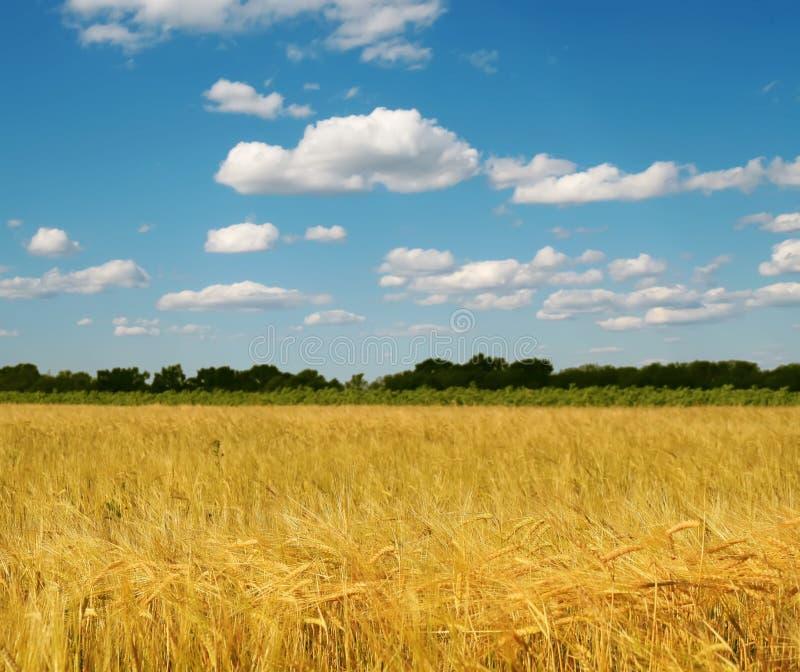 Campo del trigo y del cielo azul foto de archivo