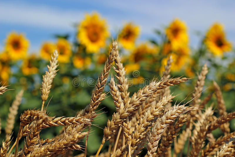 Campo del trigo y del girasol fotos de archivo