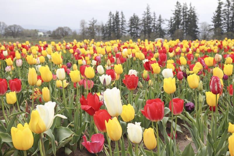 Campo del tulipán con clases múltiples de tulipanes con diversos colores fotografía de archivo