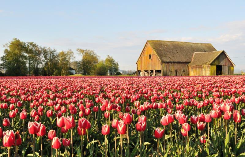 Campo del tulipán con el granero viejo dilapidado imágenes de archivo libres de regalías