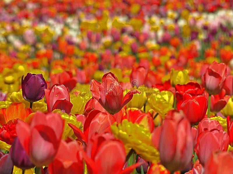 Campo del tulipán con los tulipanes rojos y amarillos fotos de archivo