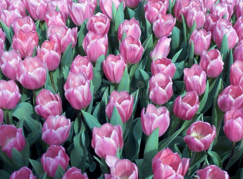 Campo del tulipán del campo imagen de archivo
