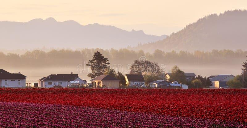 Campo del tulipán del valle de Skagit en la salida del sol imagenes de archivo