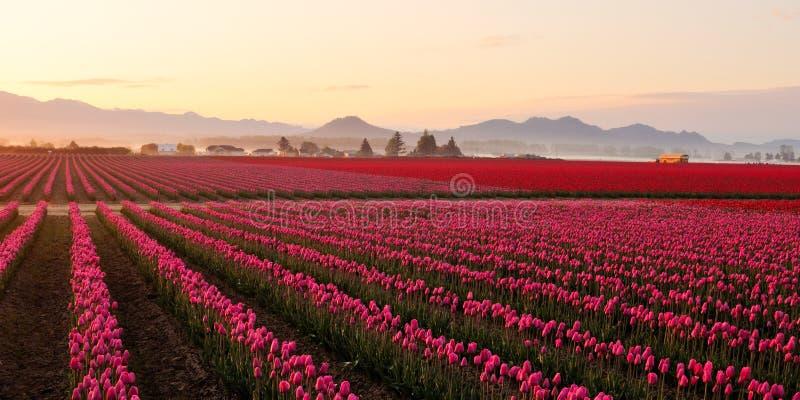 Campo del tulipán del valle de Skagit en la salida del sol brumosa imagen de archivo