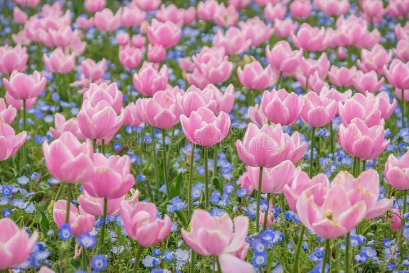 Campo del tulipán en el jardín de Nabana no sato, Japón fotos de archivo