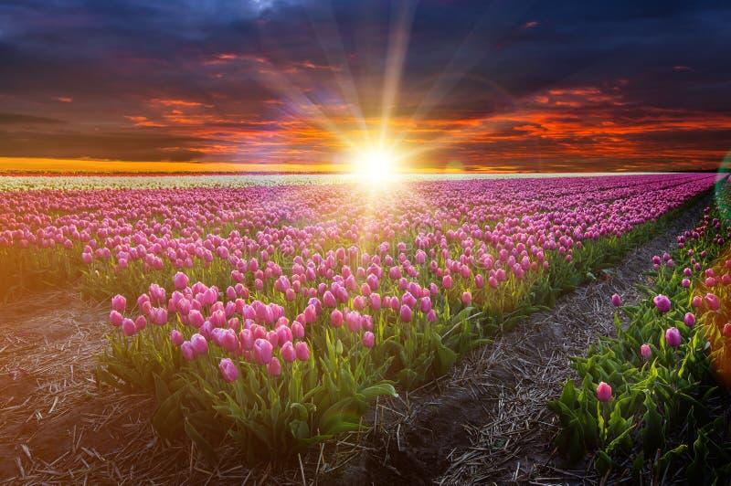 Campo del tulipán en Holanda fotos de archivo