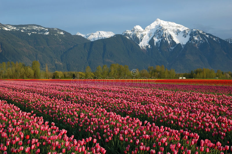 Campo del tulipán y montaña de la nieve fotografía de archivo