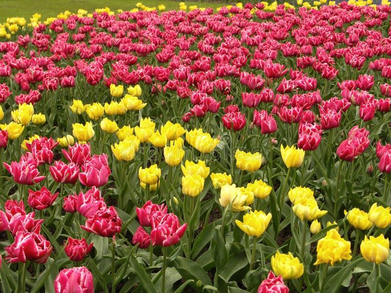 Campo del tulipano fotografia stock libera da diritti