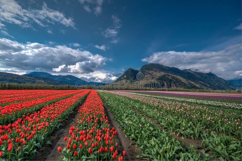 Campo del tulipano del campo immagini stock libere da diritti