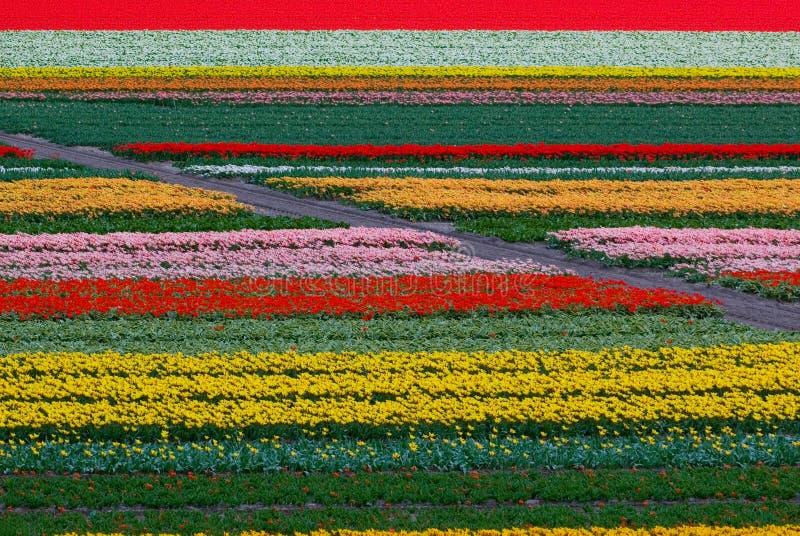Campo del tulipano in Olanda immagine stock