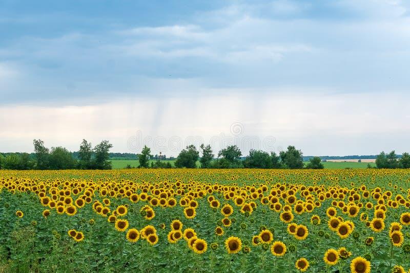 Campo del verano con las plantas del girasol imagen de archivo