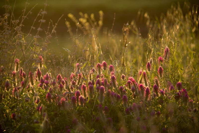 Campo del verano de la primavera con los Wildflowers en puesta del sol Na del contraluz de Bokeh fotografía de archivo libre de regalías