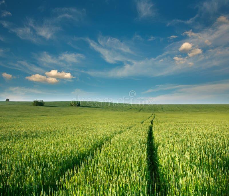 Campo del verde de la granja del grano del trigo de las plantas del cereal en el cielo azul del fondo fotos de archivo libres de regalías