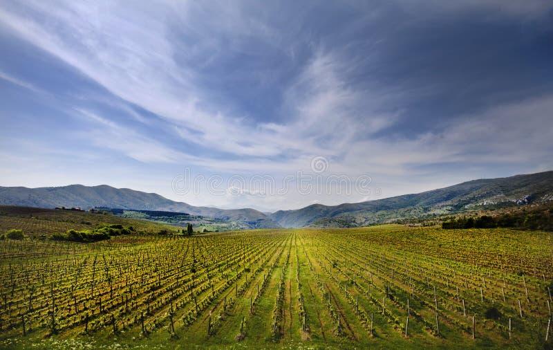 Campo del viñedo en Macedonia imágenes de archivo libres de regalías