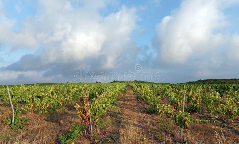 Campo del viñedo y de trigo en la isla de Córcega imagenes de archivo