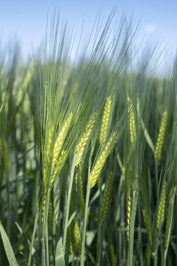 Campo del vulgare del Hordeum, grano de cereal de la cebada imagen de archivo