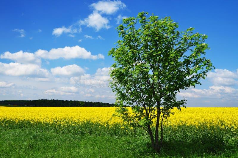 Campo dell'albero di estate fotografia stock libera da diritti