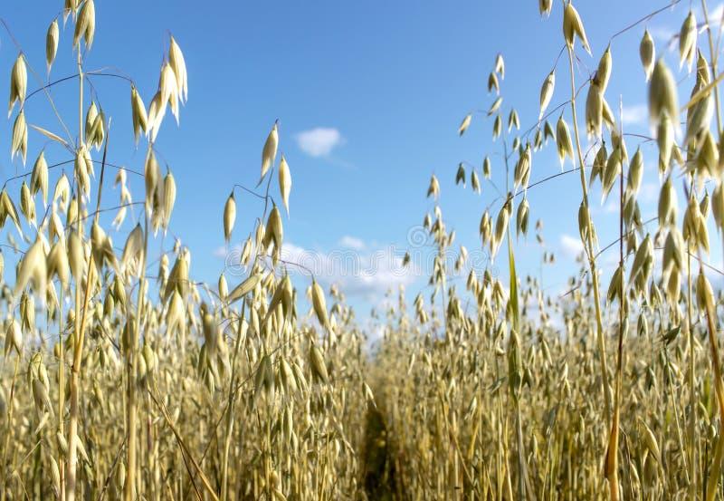 Campo dell'avena davanti ad un cielo blu nel giorno soleggiato Stagione della raccolta fotografia stock