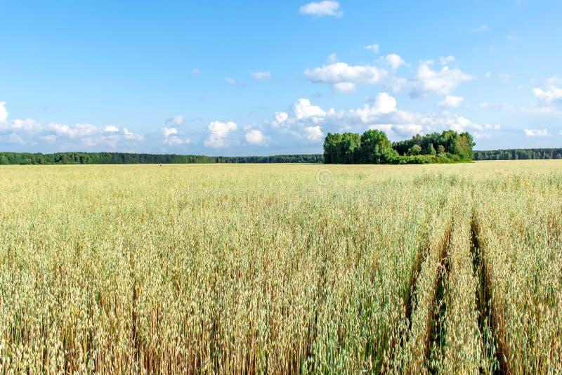 Campo dell'avena davanti ad un cielo blu nel giorno soleggiato Stagione della raccolta fotografie stock