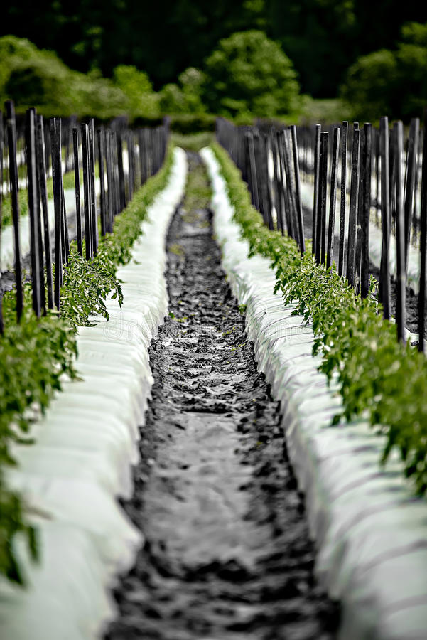 Campo dell'azienda agricola della fragola il giorno soleggiato fotografia stock libera da diritti