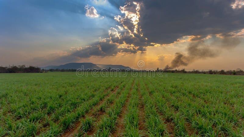 Campo dell'azienda agricola dello zucchero su tempo di tramonto immagine stock libera da diritti