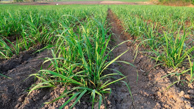 Campo dell'azienda agricola dello zucchero su tempo di tramonto immagini stock