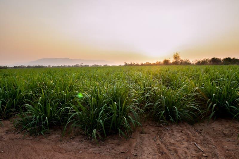 Campo dell'azienda agricola dello zucchero su tempo di tramonto fotografia stock libera da diritti