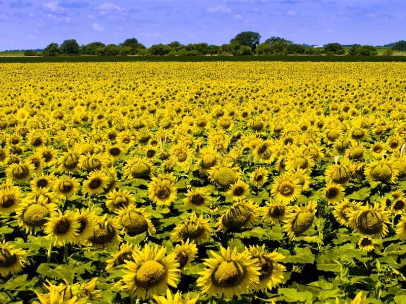 Campo dell'azienda agricola di Kansas con il raccolto denso dei girasoli gialli luminosi fotografie stock