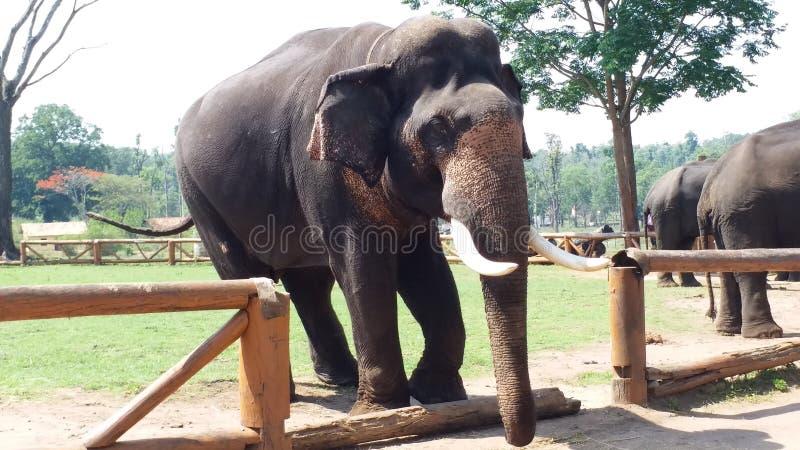 Campo dell'elefante immagine stock