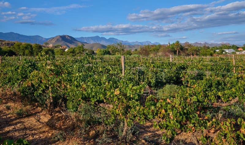 Campo dell'uva in karoo immagine stock