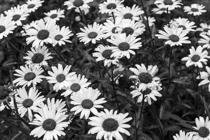 Campo della foto in bianco e nero delle margherite fotografia stock
