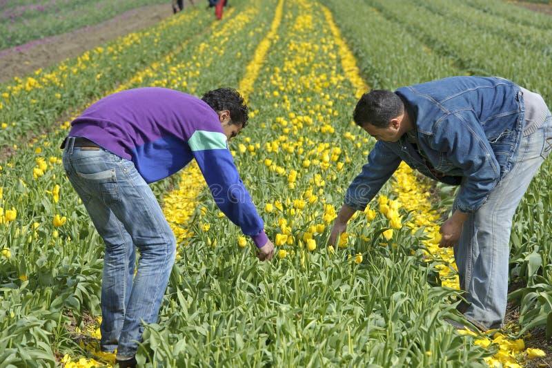 Campo della lampadina con i tulipani variopinti e le raccoglitrici delle lampadine fotografie stock libere da diritti
