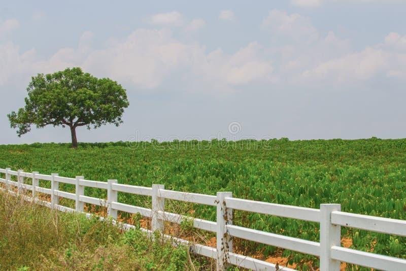 Campo della manioca e dell'albero sul fondo del cielo blu fotografie stock libere da diritti