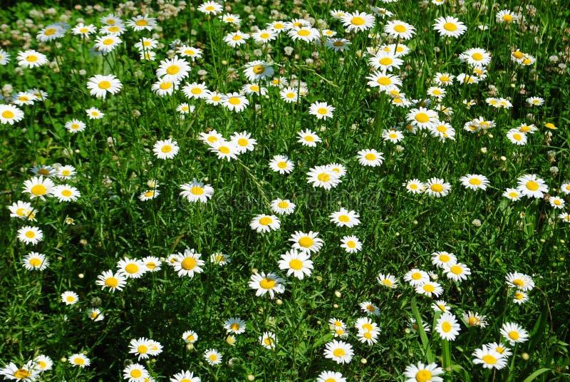 Download Campo della margherita fotografia stock. Immagine di profumo - 30825572