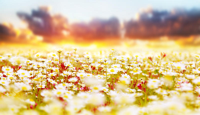 Campo della margherita sopra il tramonto immagini stock