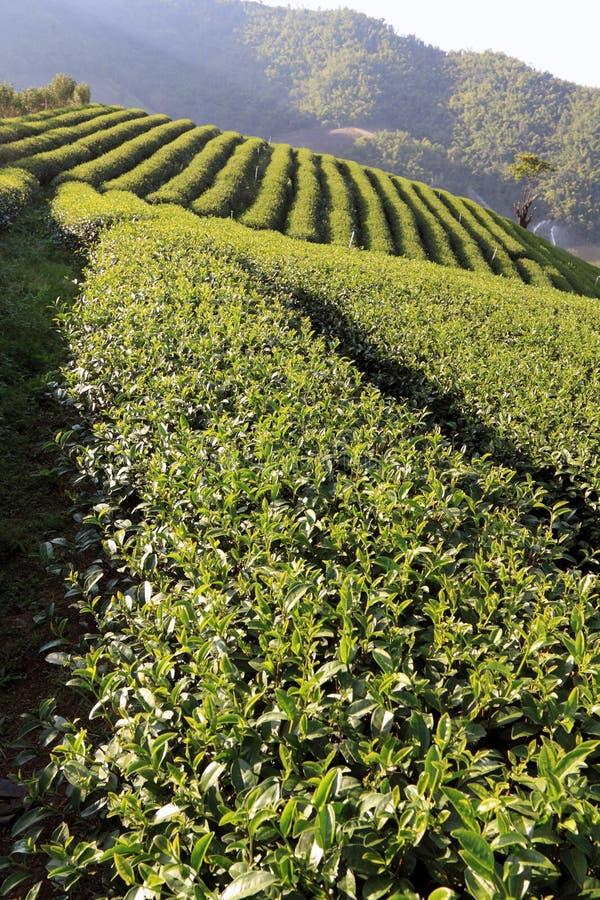 Campo della piantagione di tè fotografie stock libere da diritti