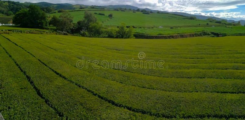 Campo della piantagione di tè in Azzorre fotografia stock libera da diritti