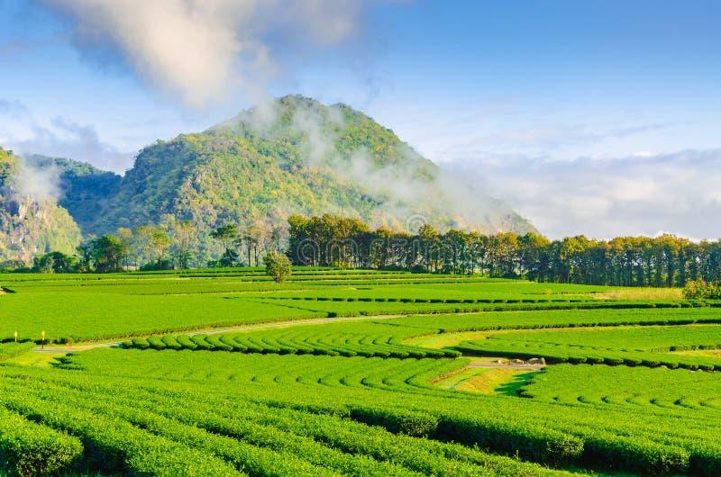 Campo della piantagione di tè nella bella fila con la montagna ed il cielo blu immagini stock libere da diritti