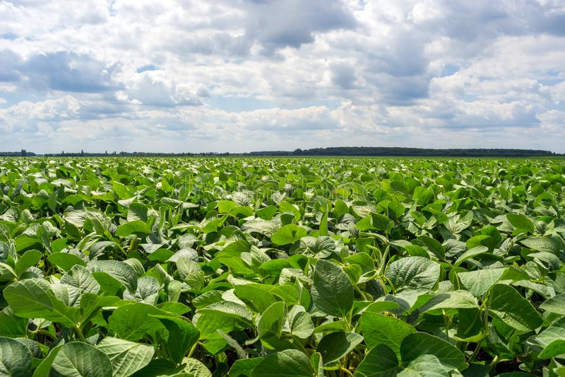Campo della soia verde nel periodo di fioritura Liberi dalle malattie e, piante sane Semi perforati fotografia stock