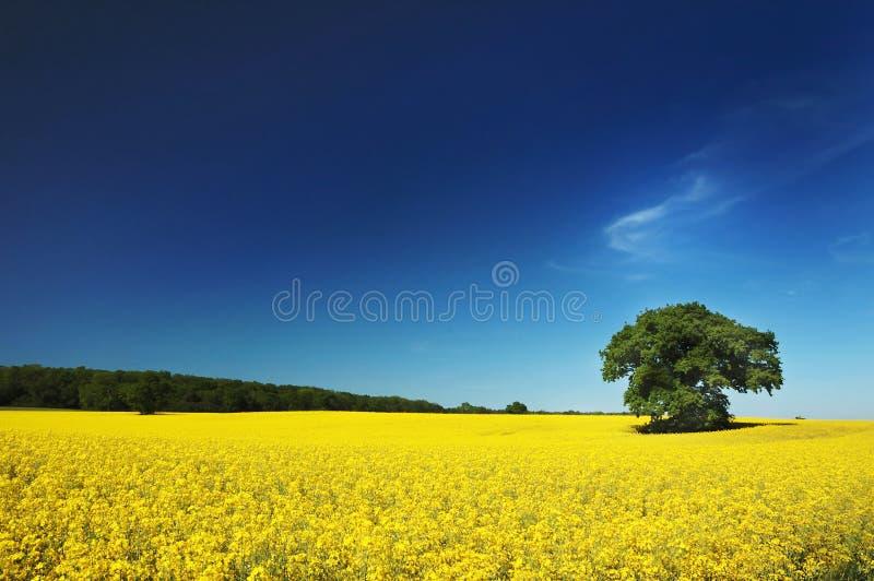 Campo Regno Unito della violenza del seme oleaginoso. immagini stock libere da diritti