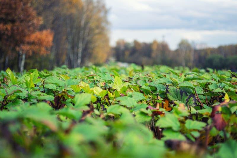Campo delle foglie sul fondo di autunno fotografie stock libere da diritti