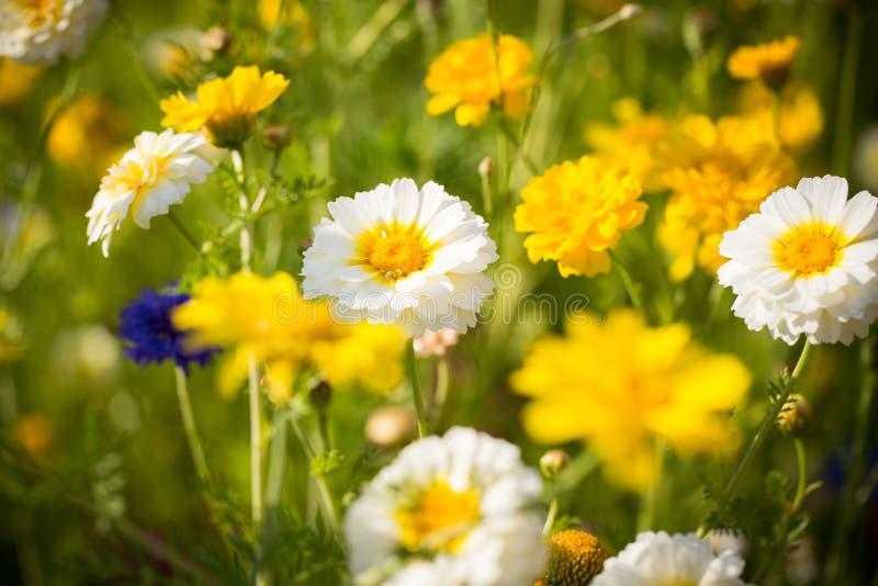 Campo delle margherite bianche e gialle selvatiche immagini stock