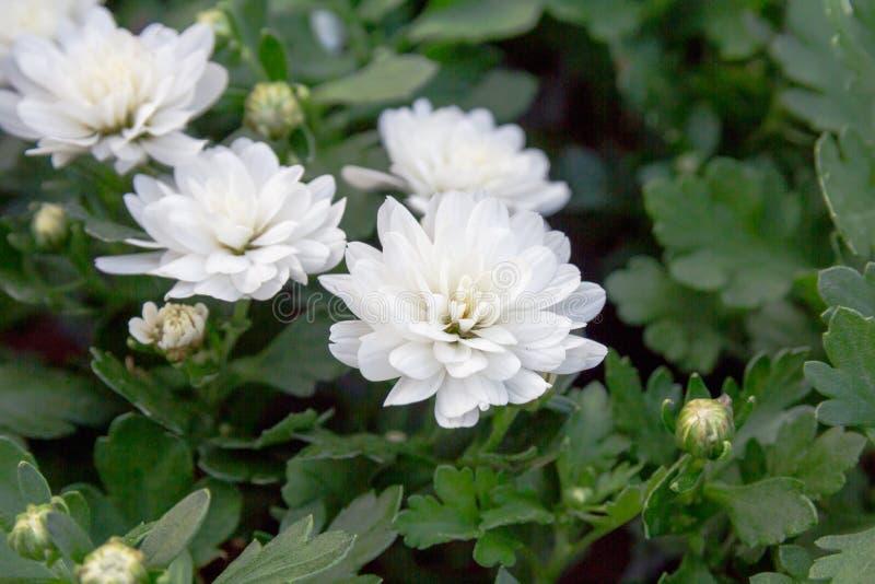 Campo delle margherite Priorità bassa dei fiori bianchi Macro punto di vista della margherita immagini stock